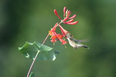 Ruby throated Hummingbird in Quebec, North America. Ruby throated Hummingbird in Quebec, Canada, North America royalty free stock photos