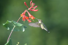 Ruby throated Hummingbird in Quebec, North America. Ruby throated Hummingbird in Quebec, Canada, North America royalty free stock image