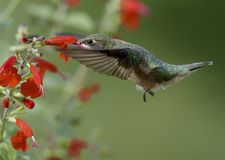 Ruby-throated Hummingbird and Red Flowers stock photo