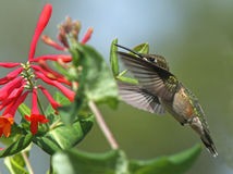 Ruby-Throated Hummingbird at Red Honeysuckle Stock Photo