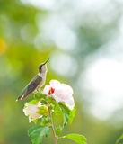 Ruby-throated Hummingbird resting on a flower Royalty Free Stock Photo