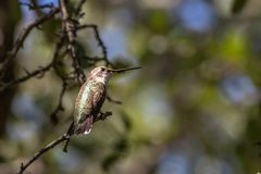 Ruby-throated Hummingbird Resting in the Oak Tree Royalty Free Stock Photography