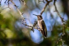 Ruby-throated Hummingbird Resting in the Oak Tree Stock Photo