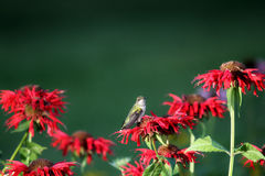 Ruby throated hummingbird resting Stock Photos