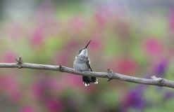 Ruby-throated Hummingbird scratching his neck stock photography