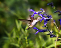 Ruby Throated Hummingbird sipping a Blue Salvia. Ruby Throated Hummingbird is sipping the nectar of a Blue Salvie flower Stock Photography