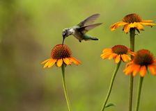 Ruby Throated Hummingbird sipping coneflower #2 Stock Photos