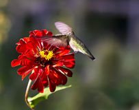 Ruby Throated Hummingbird sipping Red zinnia. Ruby Throated Hummingbird is sipping the nectar of a red zinniaflower in mid  flight Royalty Free Stock Images