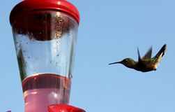Ruby Throated Hummingbird South Central Manitoba photographie stock libre de droits