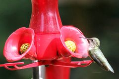 Ruby Throated Hummingbird South Central Manitoba arkivfoto