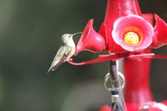 Ruby Throated Hummingbird South Central Manitoba arkivbilder