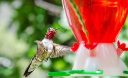 Ruby. A Ruby throated Hummingbird stops by for a Portrait Royalty Free Stock Photo
