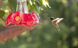 Ruby-Throated Hummingbird In Sunshine royalty free stock photos