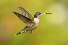 Ruby-throated Hummingbird & x28;archilochus colubris& x29; Royalty Free Stock Photos