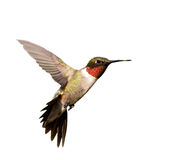 Ruby-throated Hummingbirdmanlig i flyg Royaltyfri Foto