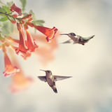 Ruby Throated Hummingbirds images stock