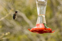 Ruby-throated Hummingbirds Royalty Free Stock Photo