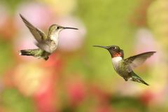 Ruby-throated Hummingbirds (archilochus colubris) Royalty Free Stock Photo