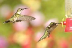 Ruby-throated Hummingbirds (archilochus colubris) Stock Photo