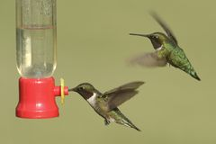 Ruby-throated Hummingbirds (archilochus colubris) Royalty Free Stock Image