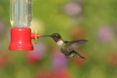 Ruby-throated Hummingbirds (archilochus colubris). Male Ruby-throated Hummingbird (archilochus colubris) in flight at a feeder with a colorful background Royalty Free Stock Images