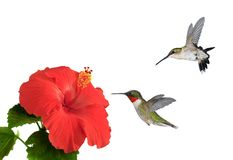 Free Ruby- Throated Hummingbirds At Red Hibiscus Flowers Stock Photo - 74974650