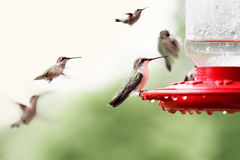 Ruby-Throated Hummingbirds Royalty Free Stock Images