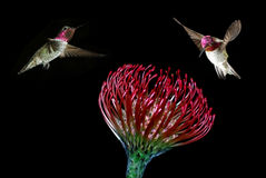 Ruby-throated hummingbirds feeding from beautiful tropical flowe Royalty Free Stock Photography