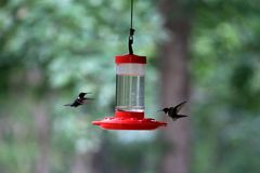 Ruby-throated hummingbirds Stock Image