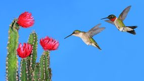Ruby- throated Hummingbirds Royalty Free Stock Photography