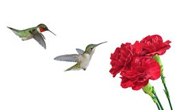 Ruby- throated Hummingbirds at Red Carnations Royalty Free Stock Image