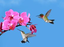 Ruby- throated Hummingbirds at Tropical Orchids Royalty Free Stock Photography