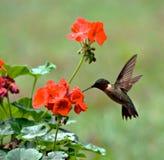 ruby throated kolibra