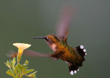 ruby throated kolibra Fotografia Stock