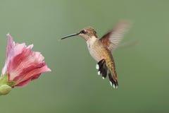 ruby throated kolibra Zdjęcia Stock