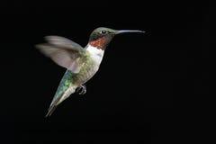 ruby throated kolibra Zdjęcie Stock