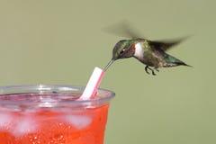 ruby throated kolibra Obraz Stock