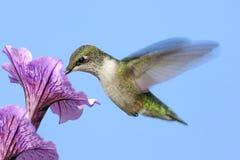 ruby throated kolibra Fotografia Royalty Free