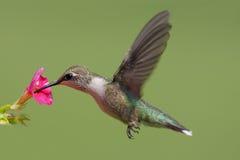 ruby throated kolibra Obraz Royalty Free