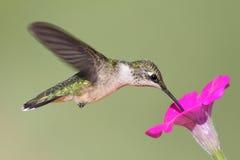 ruby throated kolibra Zdjęcia Royalty Free