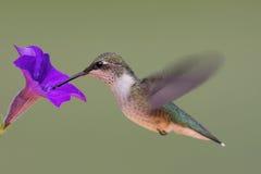 ruby throated kolibra Zdjęcie Royalty Free