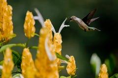 ruby throated kolibra Obrazy Stock