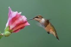 ruby throated kolibra głodny Zdjęcia Stock
