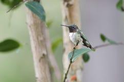 ruby throated kolibra mężczyzną Zdjęcia Royalty Free