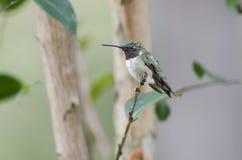 ruby throated kolibra mężczyzną Zdjęcie Royalty Free