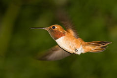 Ruby-Throated Male Hummingbird. Hovering Stock Photo