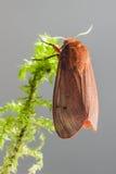 Ruby Tiger (den Phragmatobia fuliginosaen) Royaltyfria Bilder