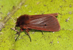 Ruby Tiger Moth Arkivfoto