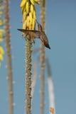 Ruby-topaz Hummingbird feeding Royalty Free Stock Image