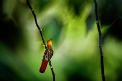Ruby-Topaz Hummingbird vermelho e amarelo, mosquitus de Chrysolampis, na floresta tropica escura, olhar frontal com cabeça alaran imagens de stock royalty free